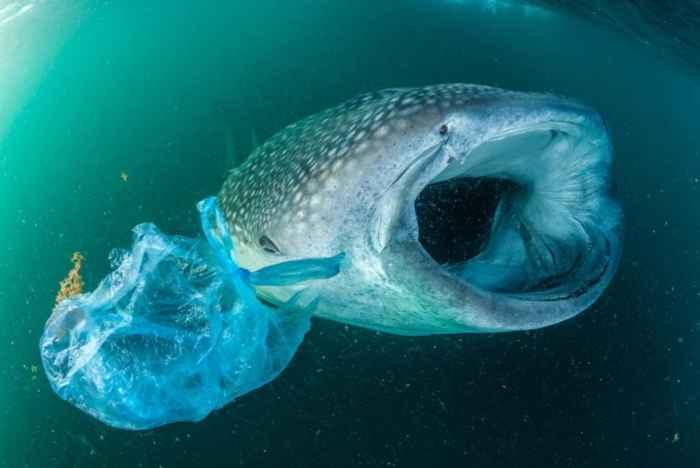 tiburón ballena junto a una bolsa de plástico