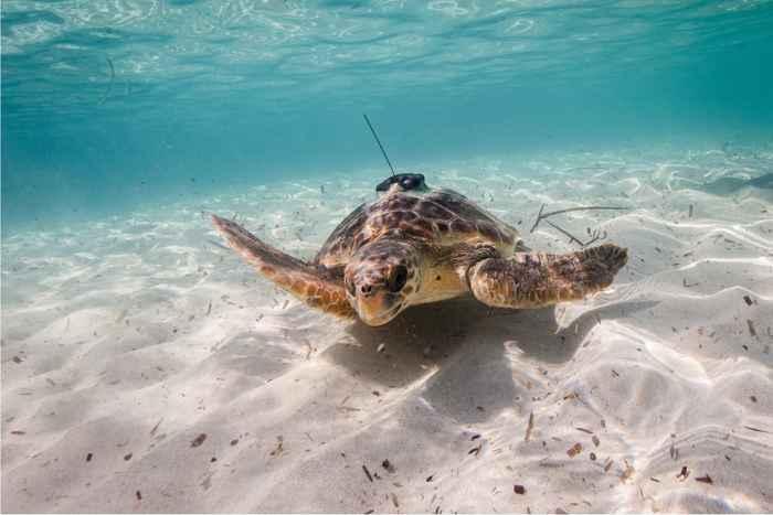 tortuga marina marcada