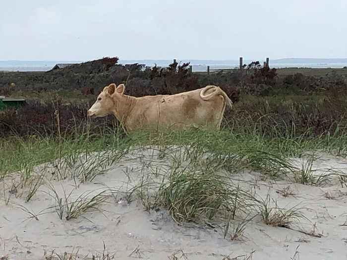 vaca marina arrastrada por el huracán Dorian