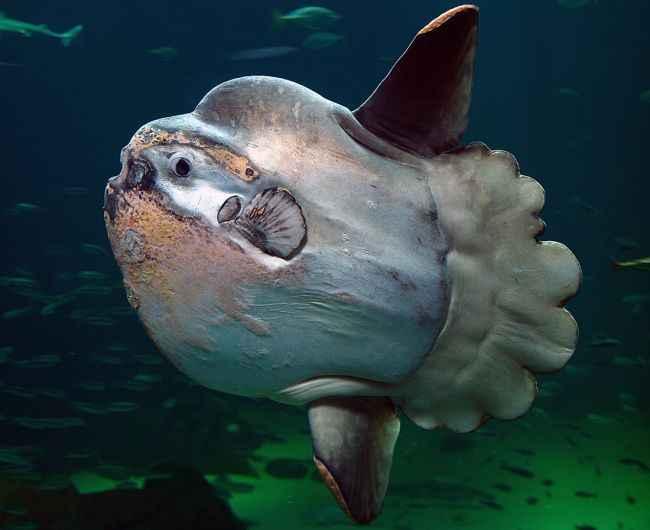 pez Mola Mola