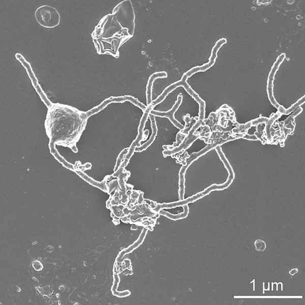 Prometheoarchaeum syntrophicum