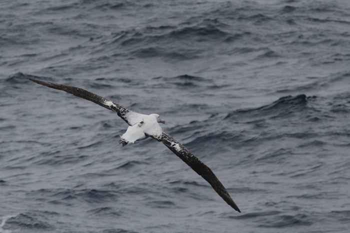 un albatros equipado con transmisor