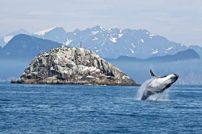 ballena gris saltando