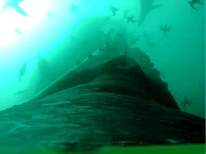 ballena jorobada ataca un cardumen de peces