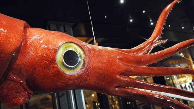calamar gigante (Architeuthis dux)