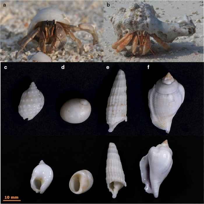 cangrejos ermitaños y conchas