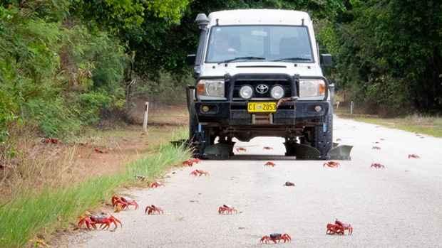 cangrejo móvil de la Isla de Navidad