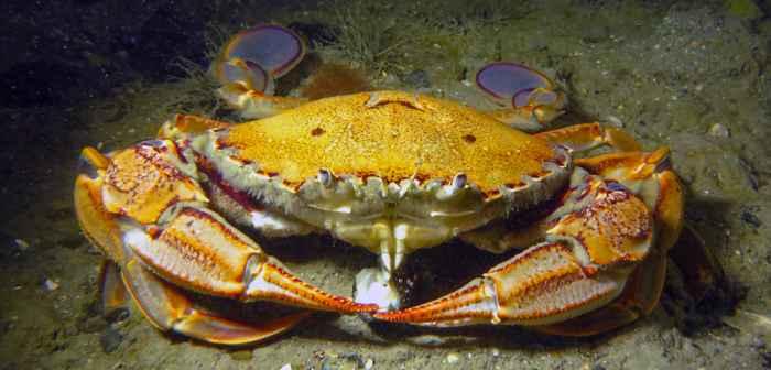 cangrejo nadador (Ovalipes catharus)