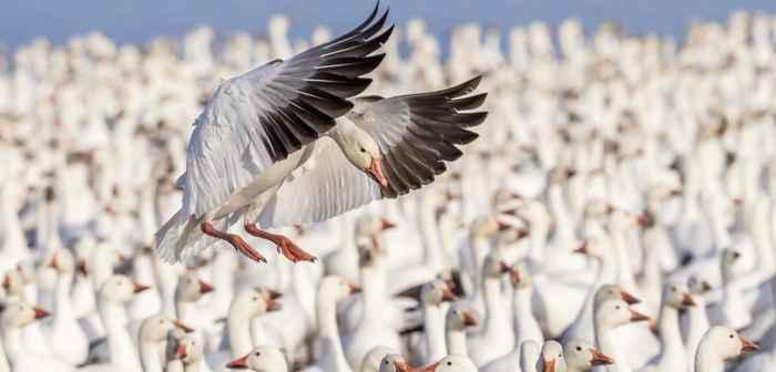 colonia de gansos de nieve
