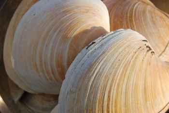conchas de almejas de Islandia