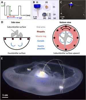 diseño del dispositivo de natación de una medusa