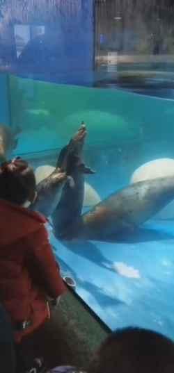 focas intentan liberar a otra foca atrapada desagüe