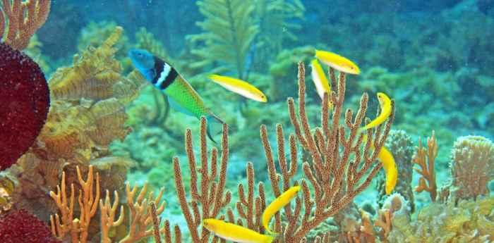 grupo de peces loro cabeza azul (Thalassoma bifasciatum)