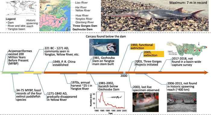 historia del pez espátula chino (Psephurus gladius)