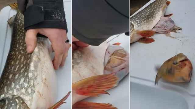 lucio tiene un pez vivo en el estómago