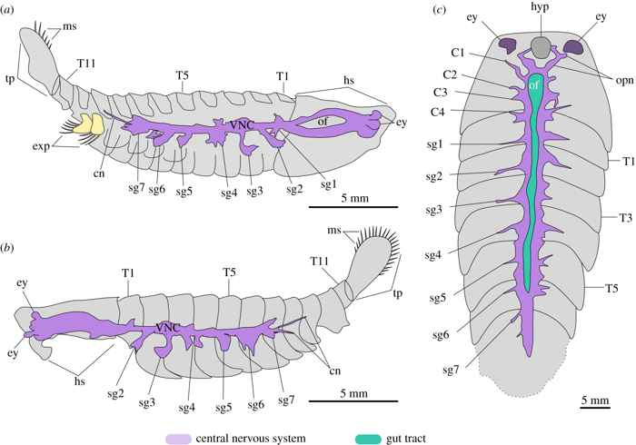 morfología del Alalcomenaeus