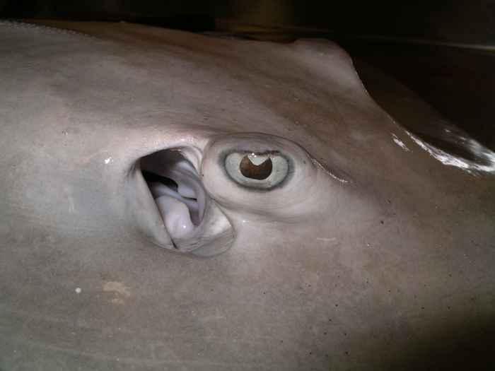 ojo de una raya