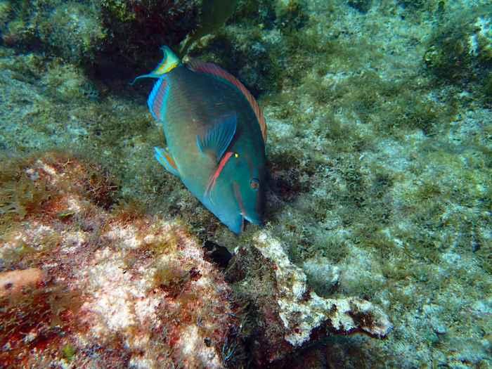pez loro de arrecife