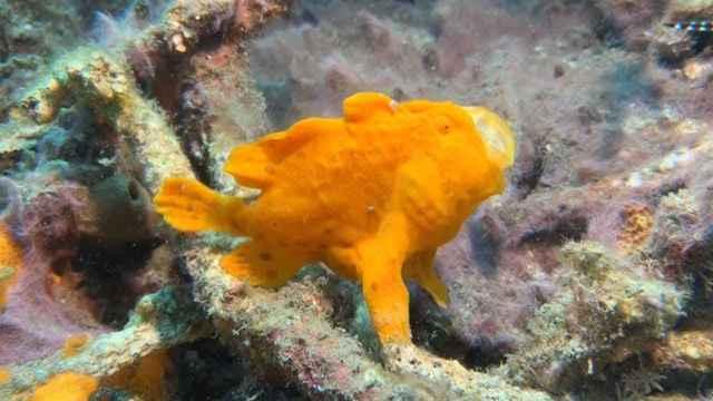 pez sapo emboscado
