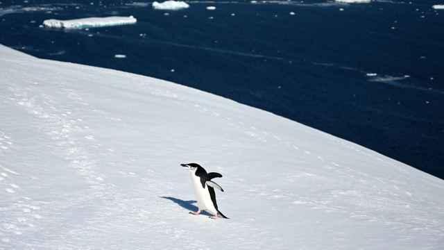 pingüino en la Antártida