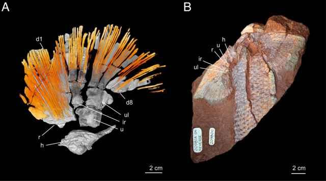 rayos dermales de un fósil