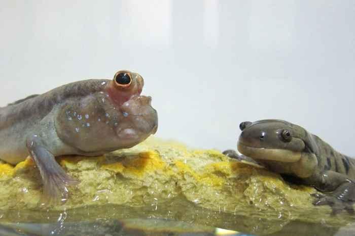 saltarín del fango y salamandra