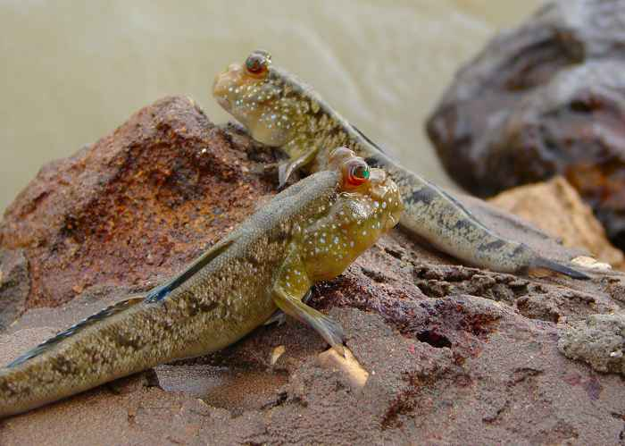 saltarín de fango africano
