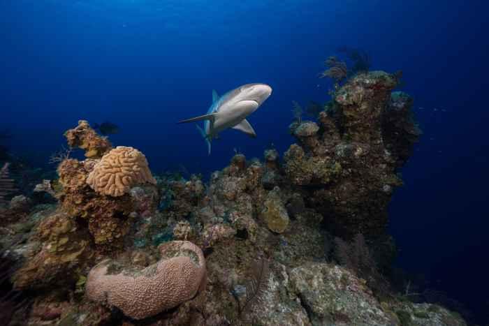 tiburón de arrecife del Caribe