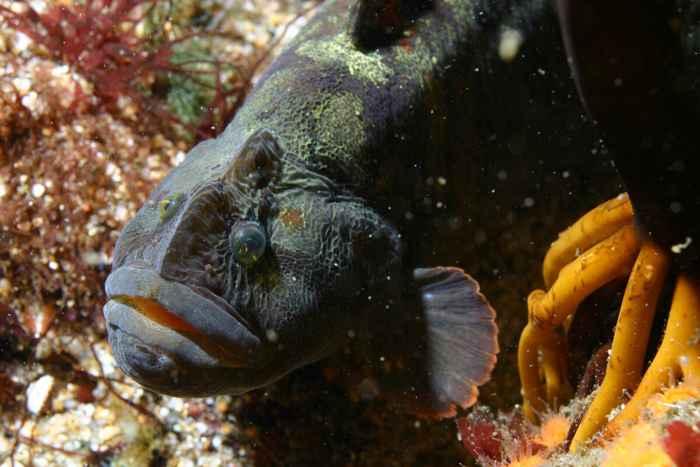 abrojo cara de mono (Cebidichthys violaceus)