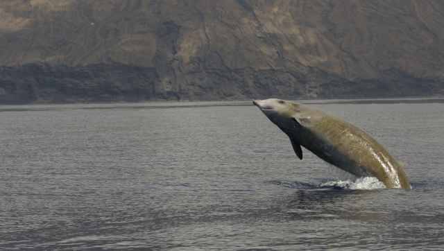ballena picuda de Cuvier saltando