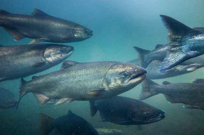 banco de salmones