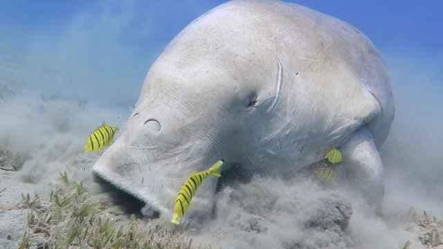 dugongo comiendo pastos marinos