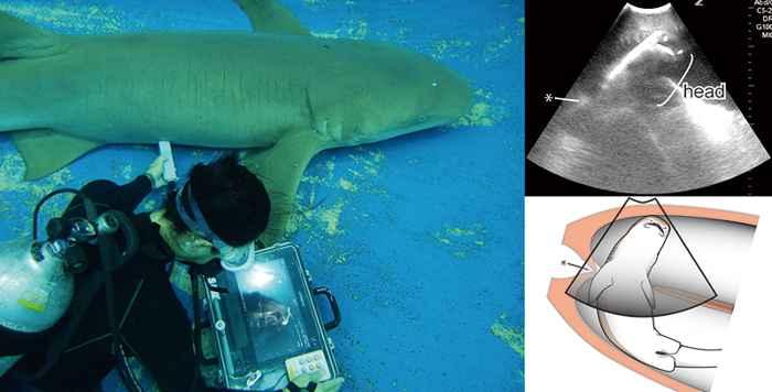 ecografía de un tiburón