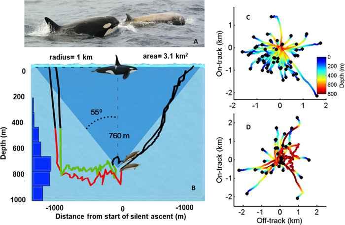 estudio de ballenas picudas