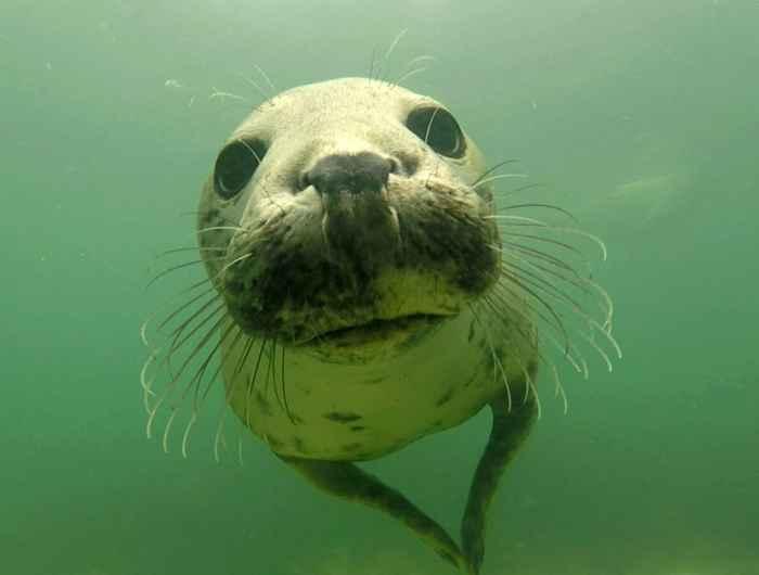 foca gris aplaudiendo
