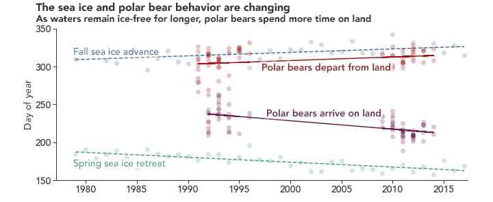 llegada y salida a tierra de osos polares