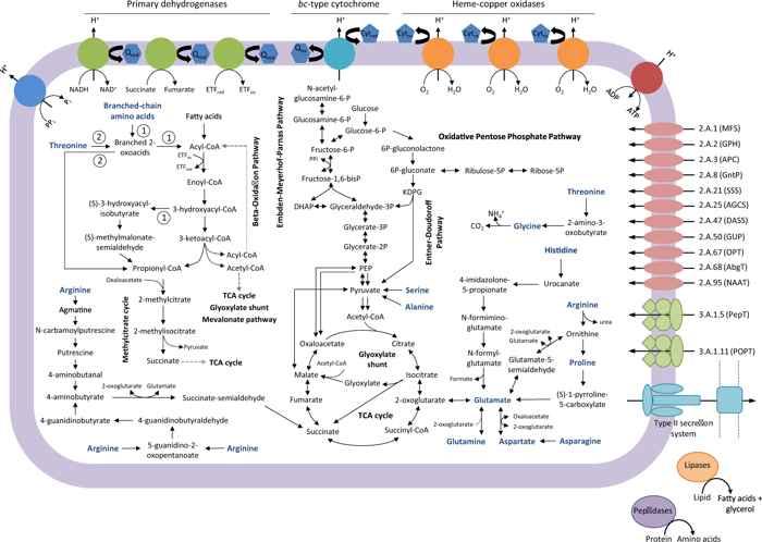 mapa metabólico de bacterias Woeseiales