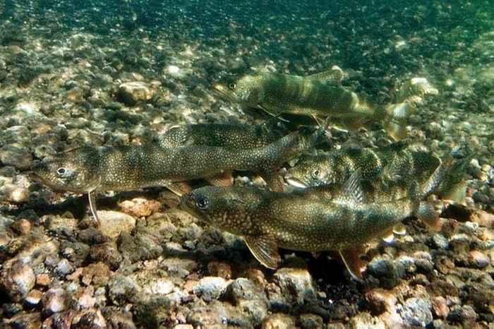 peces de río en invierno