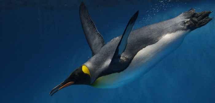 pingüino buceando