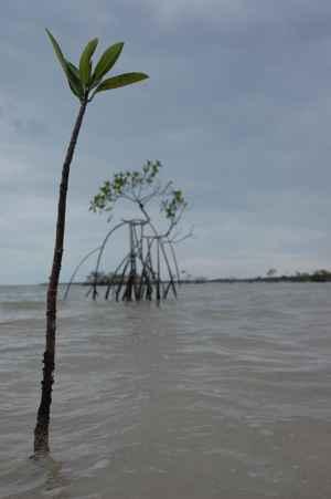 regeneración de manglares