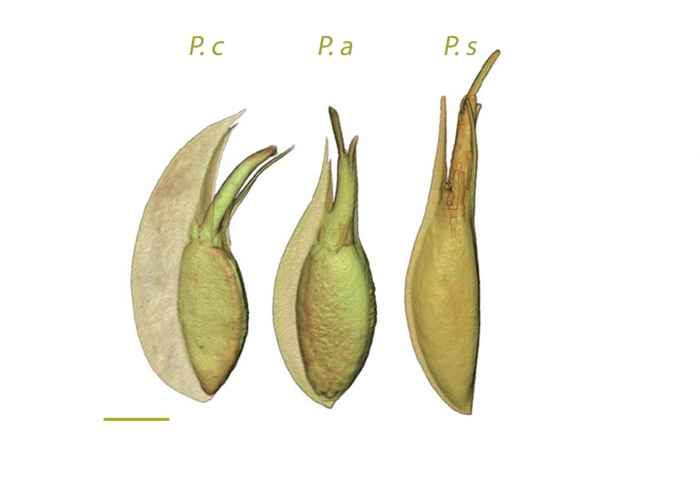 semillas de Posidonia