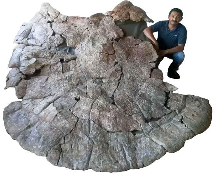 caparazón fósil de tortuga gigante Stupendemys geographicus