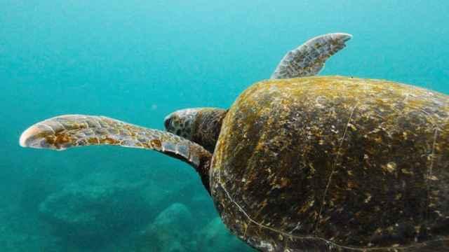 tortuga marina (Caretta caretta)