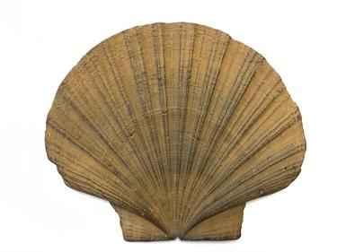 vieira fósil Pecten maximus