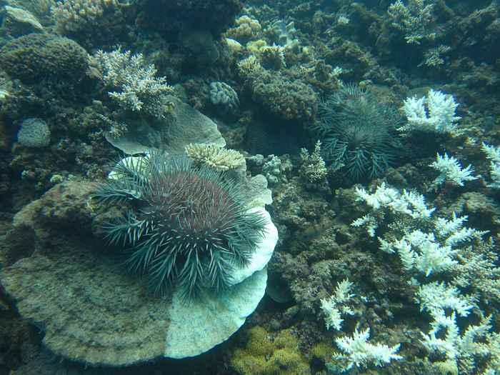 Acanthaster planci devorando corales