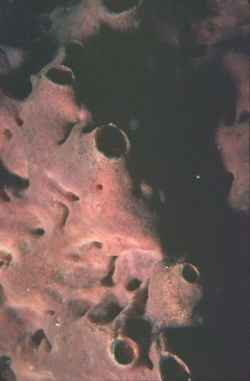 Acanthostronglyophora ingens