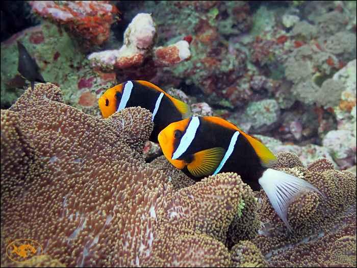 peces payaso Amphiprion chrysopterus
