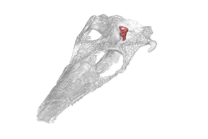 oído interno del Cricosaurus suevicus