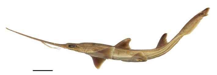 tiburón sierra de seis agallas, Pliotrema kajae