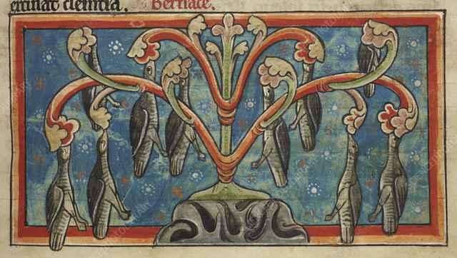 barnaclas cariblanca colgando de un árbol